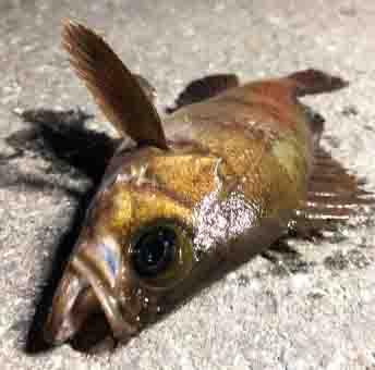 浜名湖海釣り公園で釣れる魚メバル