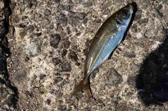 サビキで釣れる魚アジ