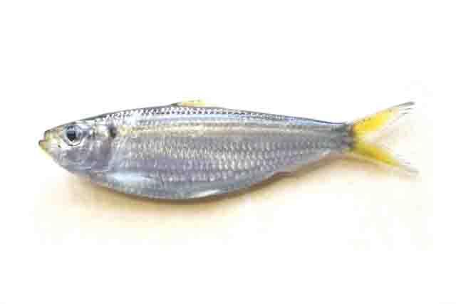 サビキで釣れる魚サッパ