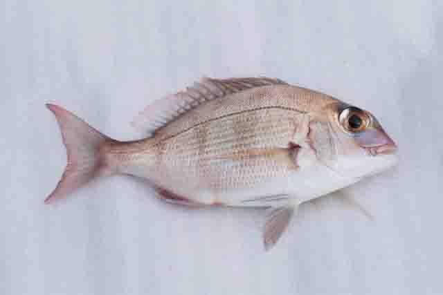 サビキで釣れる魚タイ
