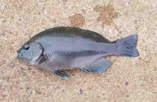 サビキで釣れる魚メジナ