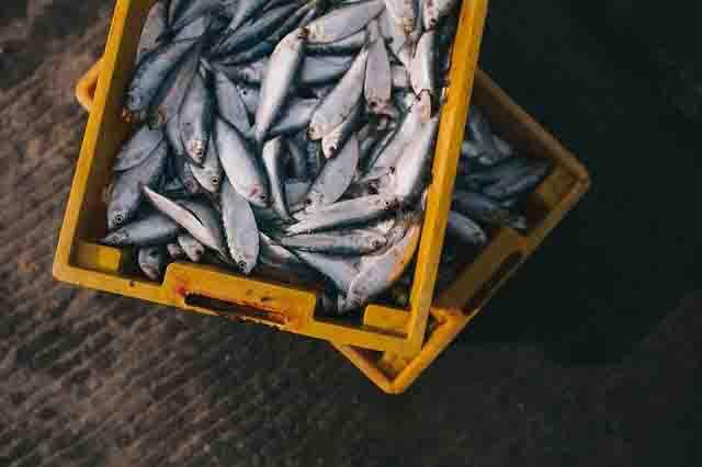 サビキで釣れる魚
