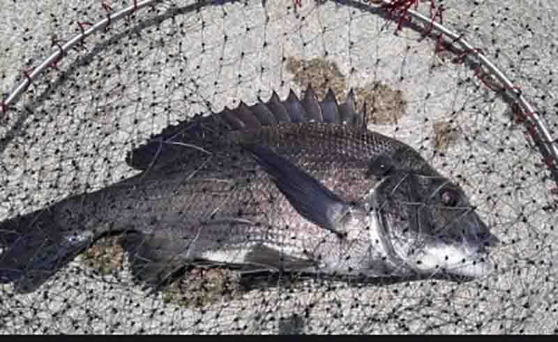 浜名湖海釣り公園で釣れる魚クロダイ