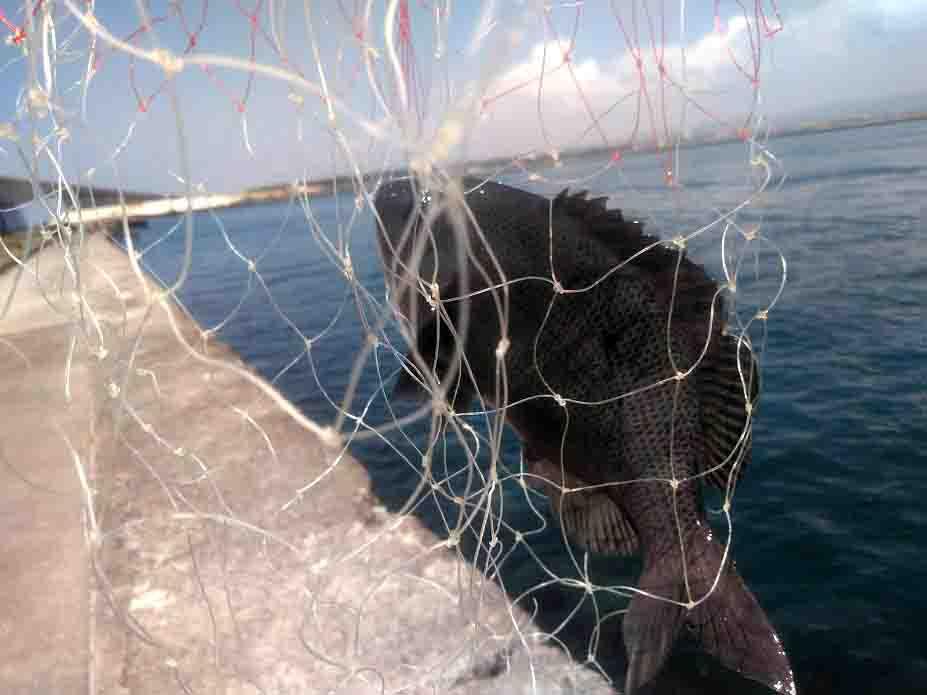 浜名湖お海釣り公園で釣れる魚グレ